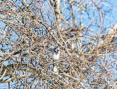 quabbinwinter2016-405 (gtxjimmy) Tags: blue winter bird nikon jay massachusetts newengland reservoir quabbin tamron songbird quabbinreservoir d600 watersupply nikond600 150600mm