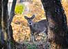 Deer Hiding out in the Sunlight (Daveyal_photostream) Tags: trees sunlight motion nature beautiful beauty animal animals golden movement woods nikon outdoor ears d600 nikor mycamerabag meyes mygearandme meandmygear
