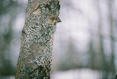 Snowy Moss (Rachael.Robinson) Tags: winter canada color tree film beach nature 35mm outside island fujifilm campobello