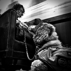 Learning to be a Service Dog (40/366) (andrew_hollingsworth) Tags: dog westseattle servicedog welshspringerspaniel iphone project365 40366 iphoneography