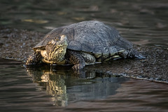 Pond Turtle (alicecahill) Tags: california morning wild usa animal turtle reptile wildlife centralcoast sweetsprings sanluisobispocounty droh dailyrayofhope alicecahill