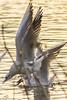 Seagulls from the river Sava (Peđa Martinović) Tags: sunset nature landscape sava galebovi labudovi pejzaz prtice