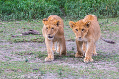 Two lion cubs checking it out (Tina Case) Tags: tanzania lion pride ngorongoro crater lions