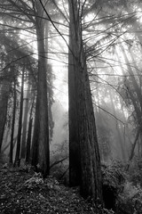 lost as it tries to be seen (Super G) Tags: trees blackandwhite bw fog forest entangled nikon260