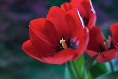 Tulips. (Eddy Tsai) Tags: flower color macro garden colours tulips bokeh taiwan vivid  viola