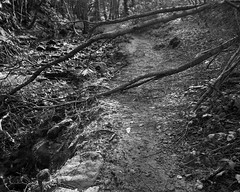 Fallen tree resting on the path and dipping its branches in the burn (Jonathan Carr) Tags: shadow abstract tree rural landscape stream path burn 4x5 lf abstraction northeat bulldog4x5 rolleirpx25 adoxfx39 stanleyburnwoods bwblackwhitemonochromefilmnikkor lensfallen