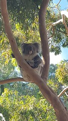 Koala sitting (chuck92000) Tags: from blue sky brown tree green gum sydney visit koala friendly local