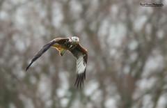 Red Kite, Milvus milvus (Midlands Reptiles & British Wildlife Diaries) Tags: red kite david station birds wales canon feeding farm nixon british prey raptors milvus gigrin 600f4 7dmkii