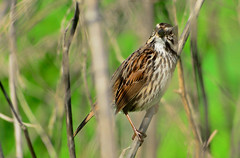 Song Sparrow (Sutapa Karmakar) Tags: coyote bird nature hills coyotehills birdphotography d7000 sigma150500mm