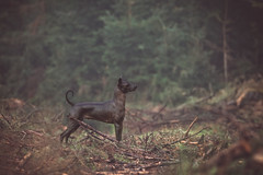 Waiting... (Melissa Thereliz) Tags: dog pet animal horizontal forest woods lonely hairless peruvian pspp