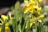 Narcissen (Henk M gardenphotoblog) Tags: flowers winter garden outdoor tuin signofspring lenteteken nimg0501