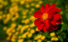 Flower Bokeh (most.4711) Tags: 1025fav topv555 bokeh gimp beercan stf 555v5f 250v10f smoothtransitionfocus sonya99 stfsimulation