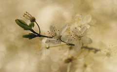 Purity (charhedman - on and off) Tags: flowers white macro spring bokeh blossoms buds plumblossoms