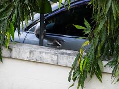 P3131165 (tatsuya.fukata) Tags: bird animal thailand samutprakan