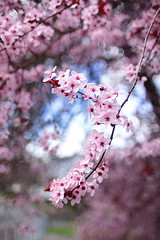 Plum Blossoms (briangeerlings) Tags: pink plant flower tree nature canon spring blossom bokeh vivitar plumblossoms vivitar28mmf20closefocus t1i