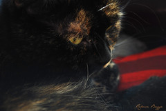 Golden eye (DameBoudicca) Tags: eye cat ojo chat tortoiseshell gato katze tortie  gatto auge occhio katt il ga  schildpatt cailledetortue skldpaddsfrgad  tartarugato skldpaddsmnstrad skldpadd