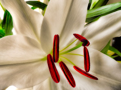 Lily (Carol Crook) Tags: white plant flower macro nature beautiful lily petal stamen pollen fantasticflower