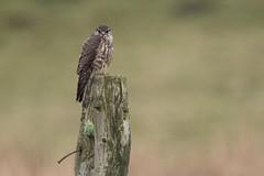 Merlin (Andy Davis Photography) Tags: canon raptor merlin falcon perched falcocolumbarius explored distinguishedraptors cudyllbach