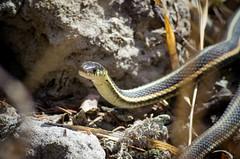 Sun-tanning Snake (Kurayba) Tags: park summer sun canada up stone closeup creek spring sand rocks edmonton pentax snake tan alberta april ravine 75300 chill warming fa k5 suntanning whitemud smcpfaj75300mmf4558al f4558