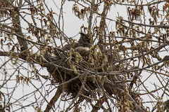 A Great Horned Owl keeps watch for threats