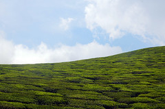 Tea Garden. Windows XP. (bijindask) Tags: tea kerala munnar