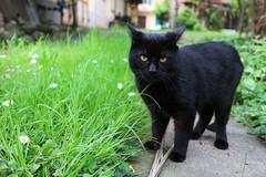 JavaScript (Cecilia Brianza) Tags: cat blackcat gatti javascript gattonero
