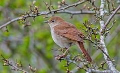 JWL7251 Nightingale... (jefflack Wildlife&Nature) Tags: nature birds countryside woodlands wildlife ngc npc avian nightingale songbirds wildbirds hedgerows