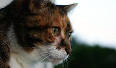 Eye of the Tiger (Drk_H) Tags: cat tiger auge glckskatze katzenauge