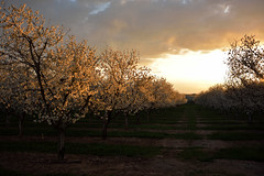 Last Light on the Orchard Blossoms (JasonCameron) Tags: road light sunset orange sun clouds cherry utah spring warm glow shine path blossoms harvest orchard valley payson santaquin