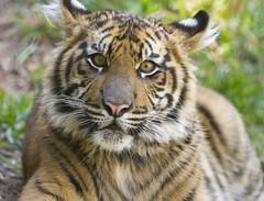 Baby Tiger Suka (San Diego Shooter) Tags: sandiego tiger tigers sandiegozoo suka babyanimal babytiger sandiegozoosafaripark