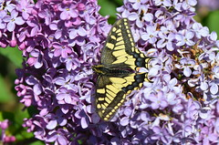 Lunch time (dfromonteil) Tags: flower macro fleur wow butterfly spring bokeh papillon lilac printemps lilas