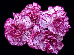 Spray Carnations (rustyruth1959) Tags: pink flowers white flower macro nature blackbackground petals nikon spray bloom carnations nikond3200 doublefantasy spraycarnations
