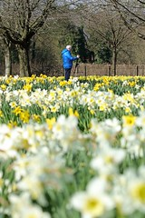 Photo-Op (11299) (jonathanclark) Tags: urban sun flower nature spring victoriapark belfast daffodil northernireland narcissus belfastharbourestate