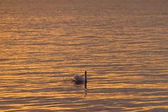 Swan on golden waters (Infomastern) Tags: sunset sea water malm vatten hav solnedgng sibbarp