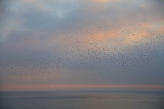 IMG_5650 (baskill) Tags: sea birds brighton front murmuration flocking starings