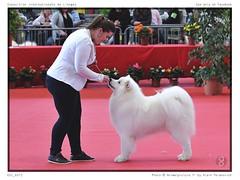 DSC_7126 (animalpicture.fr) Tags: de nikon canine exposition internationale centrale limoges d300 2016 samoyede samoyeda ofsparklingstarlightkennel