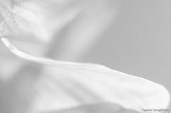 DSC_8687 (Frankie Tseng ()) Tags: park pink flowers sunset sky bw flower silhouette photography 50mm blackwhite nikon outdoor flash sunny tokina cherryblossoms fade nikkor 70300mm tamron 90mm f8 1224mm f28 f4 1870mm bwphotography blackwhitephotography portraitphotography outdoorportrait sb900 yongnuo outdoorportraitphotography yn568