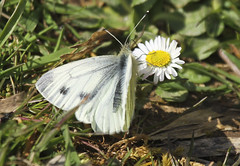 Butterfly - Green-veined White (Prank F) Tags: uk white macro nature closeup butterfly insect wildlife rutland ketton wildlifetrust lrwt greenveined kettonquarry