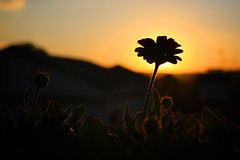 touched by the sunset (peet-astn) Tags: sunset sun flower color colour tramonto dusk touch fiore colori