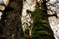 Northside (Alvin Harp) Tags: november trees nature oregon moss 2015 naturesbeauty teamsony sonyilce7rm2 alvinharp