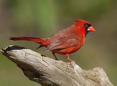 Northern Cardinal, male (AllHarts) Tags: ngc npc memphistn malenortherncardinal backyardbirds naturesspirit naturescarousel thesunshinegroup challengeclubchampions