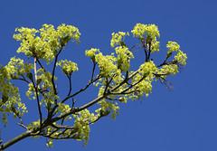 Mainz, Am Drususwall, Ahorn - maple (acer) (HEN-Magonza) Tags: nature maple flora natur acer mainz springtime frhling rheinlandpfalz ahorn rhinelandpalatinate drususwall