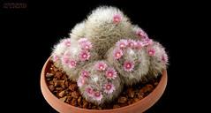 Mammillaria bocasana 2 (Nyxtofulakas) Tags: summer cactus flower nature succulent cactaceae spines mammillaria bocasana
