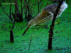 Hanging Heron Hunting (Raj the Tora) Tags: fish nature water fishing wildlife hunting waterbird waterbirds indianpondheron ardeolagrayii catchingfish paddybird vedanthangal heronfishing fishingheron vedanthangalbirdsanctuary heronhunting huntingheron vedanthangalsanctuary