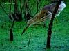 Hanging Heron Hunting (Raj the Tora) Tags: fish nature water fishing wildlife hunting waterbird waterbirds indianpondheron ardeolagrayii catchingfish paddybird vedanthangal heronfishing fishingheron vedanthangalbirdsanctuary heronhunting huntingheron vedanthangalsanctuary