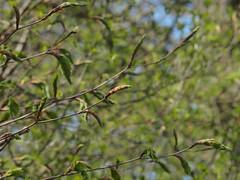 Hainbuche treibt aus (bratispixl) Tags: nature germany oberbayern hainbuche frhjahr chiemgau laubbaum traunreut austrieb stadtrundweg bratispixl