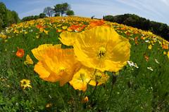 Poppy in Bampaku-park (nak.viognier) Tags: poppy osaka   bampakupark lumixgfisheye8mmf35 olympusepl3