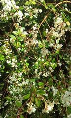 Downy hawthorn (sftrajan) Tags: primavera berkeley botanicgarden botanicalgarden jardinbotanico springtime jardinbotanique botanischergarten rosaceae ogrdbotaniczny crataegusmollis downyhawthorn universityofcaliforniabotanicgarden