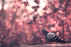 Pinky Bokeh (Gure Elia) Tags: pink animal dof bokeh dove rosa paloma pinky pamplona taconera pdc irua canoneos5dmarkii samyang135f2