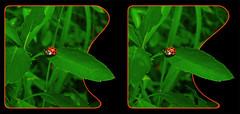 A Lonely Leaf 1 - Crosseye 3D (DarkOnus) Tags: macro closeup insect lumix leaf stereogram 3d crosseye pennsylvania beetle panasonic stereo ladybird ladybug lonely stereography buckscounty oof oob crossview dmcfz35 darkonus